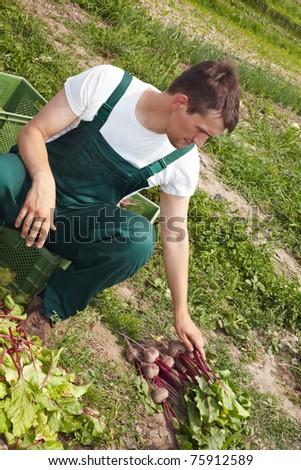 Organic farmer sorting beetroots (Beta vulgaris subsp. vulgaris) to different stacks - stock photo