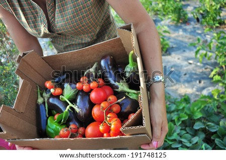 Organic farming, harvesting of vegetables. Basket with tomatoes and eggplant. - stock photo