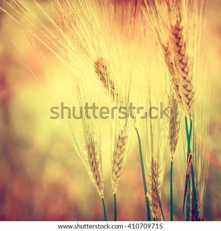 Organic farmland - cereal plants at sunset in soft focus. Gold wheat ears on the field closeup - agricultural landscape with soft light effect. Golden wheat with bokeh blur at sunrise. - stock photo