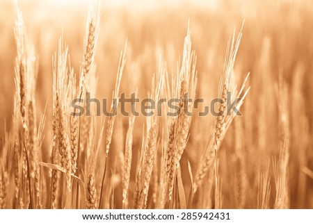 Organic field of barley - agricultural landscape in monochromatic colors. Spikes of wheat closeup. Cereal plants at sunrise in a soft focus. - stock photo