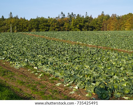 Organic freshly grown cabbage field great agriculture landscape background