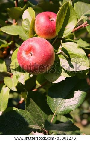 Organic Gala Apples on the Tree - stock photo