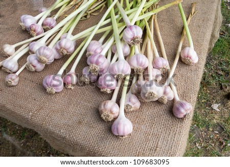 Organic garlic for sale at outdoor Farmers Market - stock photo