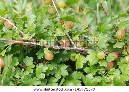 organic gooseberries on the bush, natural sunlight