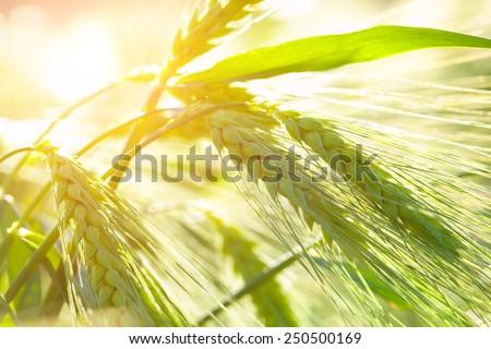 Organic green wheat. - stock photo