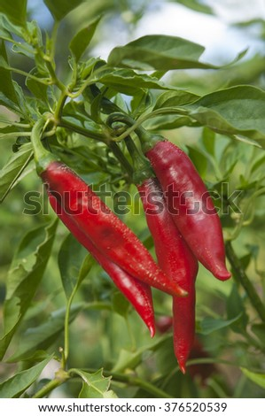 organic grown pepper plant