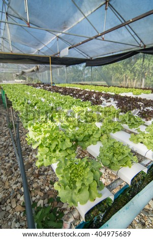Organic hydroponic vegetable cultivation farm.(selective focus) - stock photo