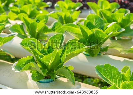 Organic hydroponic vegetable garden.vegetable for good healthy