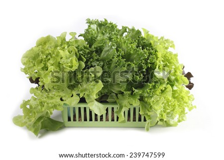 Organic hydroponic vegetable in basket isolated on white - stock photo