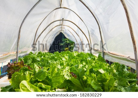 Organic hydroponic vegetable in greenhouse.