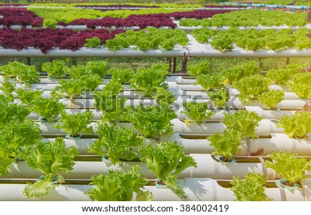 Organic hydroponic vegetable in the cultivation farm. - stock photo