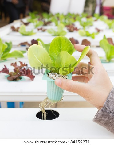 Organic hydroponic vegetable on hand in a greenhouse at Thailand