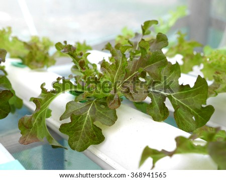 Organic Hydroponic vegetable plantation system.