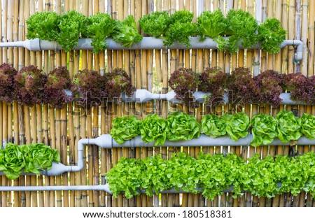 Organic hydroponic vegetables Vertical garden - stock photo