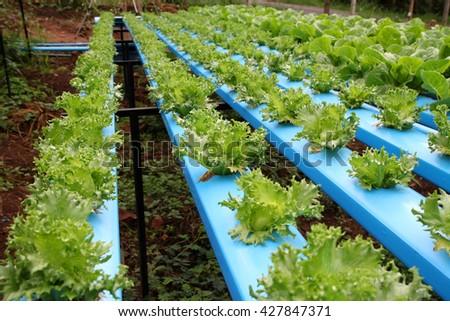 Organic hydroponics frillice iceberg (Select focus) - stock photo