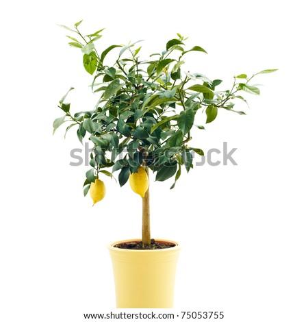 organic lemon tree isolated on white background - stock photo