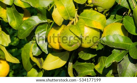 Organic lemon tree on a bio farm in Sicily