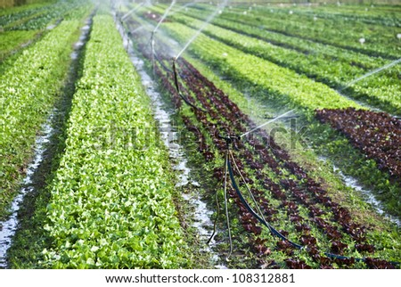 Organic lettuce being watered on the field - stock photo