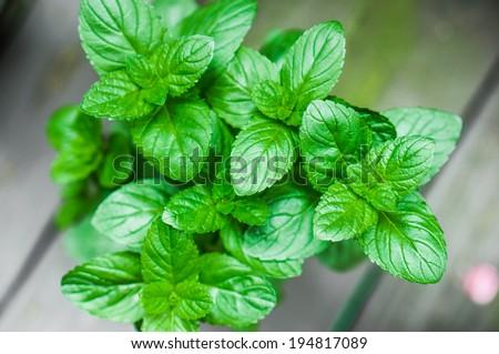 Organic mint - stock photo