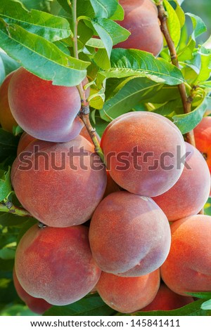 Organic peaches on tree branch  - stock photo
