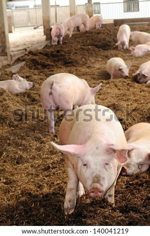 Organic pig farm - stock photo