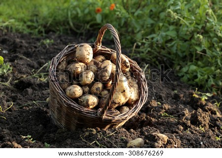 organic  potatoes  - stock photo