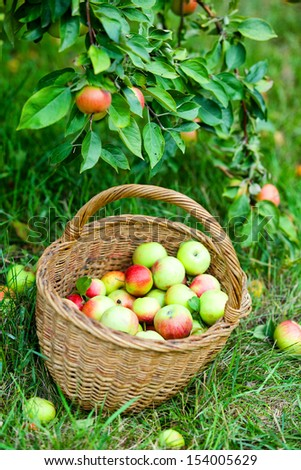 Organic red and yellow apples in the basket. Autumn at the rural garden.