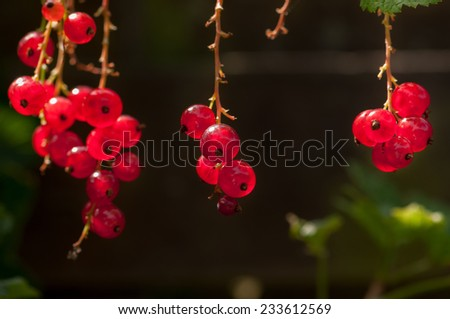 Organic Red Currant fruit on the shrub close up - stock photo