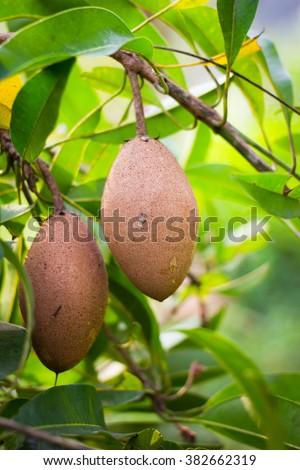 Organic sapodilla on tree - stock photo