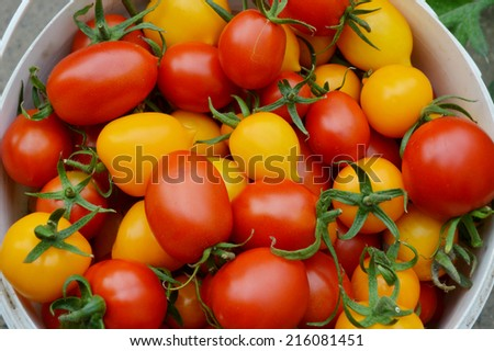 organic, small, yellow and red tomatoes in a bucket