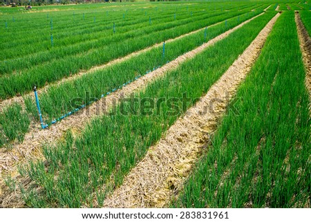 Organic spring onion in the field