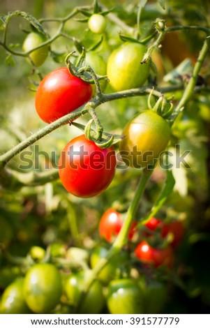 Organic tomatoes branch in organic garden Thailand - stock photo
