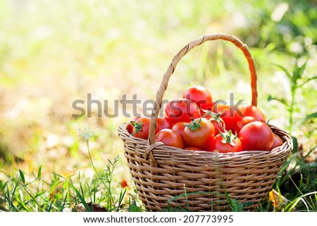 Organic tomatoes in basket in summer grass. Fresh tomatoes in nature