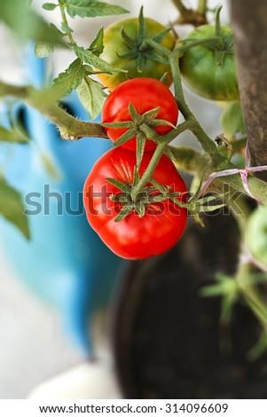 organic tomatoes in the garden - stock photo