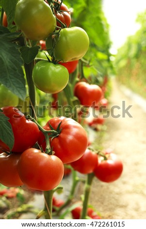 organic tomatoes on a branch
