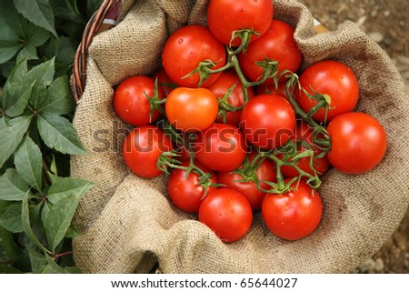 Organic tomatoes on a natural background - stock photo