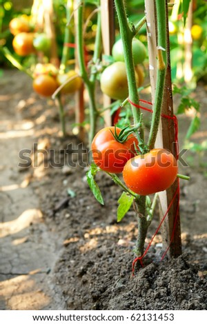 Organic tomatoes on branch - stock photo