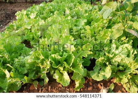 Organic vegetable garden. Rich in many nutrients Raw materials for healthy cooking. Lettuce