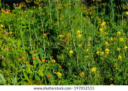 Organic vegetable garden tomatoes - stock photo