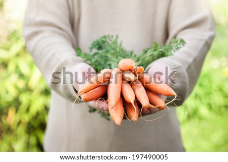 Organic vegetables. Healthy food. Fresh organic carrots in farmers hands - stock photo