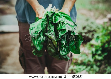 Organic vegetables. Mangold in farmers hands - stock photo