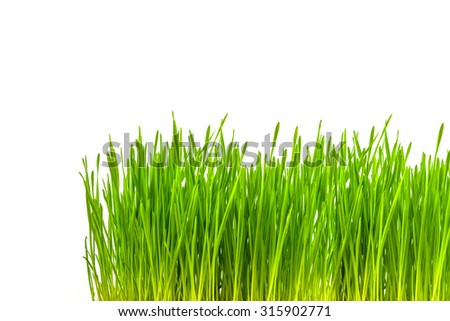 organic wheatgrass growing kit for you pet,isolated on white backgrounds. - stock photo