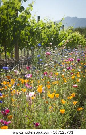 organic wine producing vineyard planted among wildflowers - stock photo