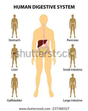 Organs highlighted on silhouette human diagram stock illustration organs highlighted on the silhouette of a human diagram of digestive system liver ccuart Gallery