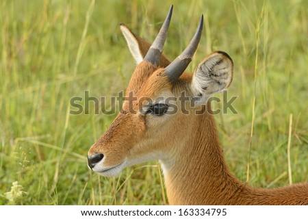Oribi on the Plains of Murchison Falls National Park in Uganda - stock photo