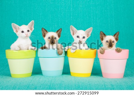 Oriental and Siamese kittens sitting inside pastel pots on blue background  - stock photo