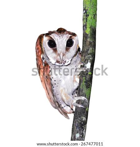 Oriental bay owl (Phodilus badius) on a branch, on white background - stock photo