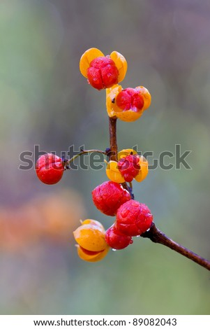 oriental bittersweet explodes open at autumn. colorful yellow and red berries covered in morning dew on a out of focus background of greens and browns of the forest. - stock photo