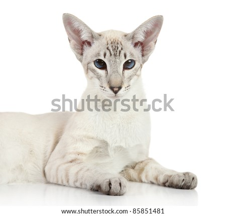 Oriental Blue-point Siamese cat lying on a white background - stock photo