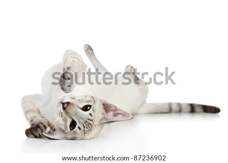 Oriental Blue-point Siamese cat playing on a white background
